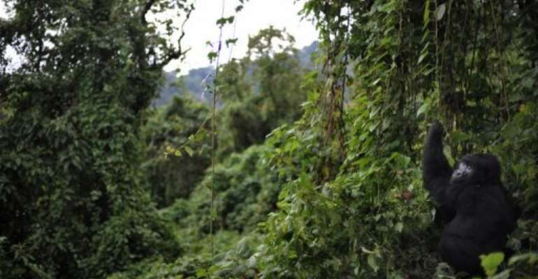 The 200 million hectares or so of forests are second only to the Amazon rainforest in size.  By Roberto Schmidt (AFP/File)