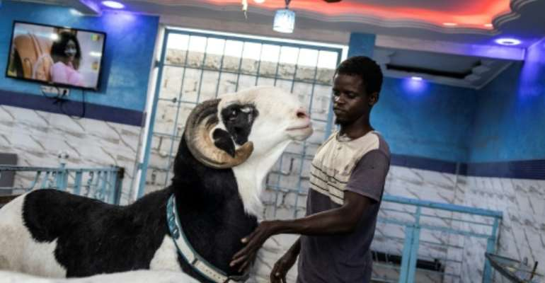 Cobra, a prize-winning ram of the Ladoum breed, is worth many thousands of US dollars to his Senegalese owner.  By JOHN WESSELS (AFP)