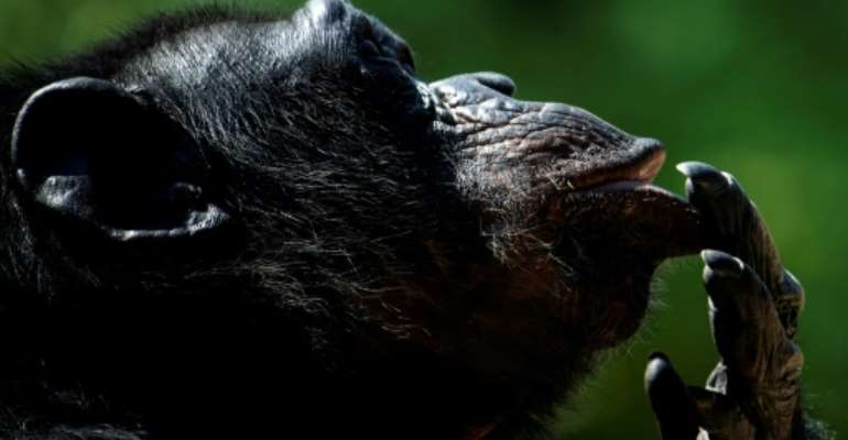 Cogito ergo sum? A chimp at the Bioparco Zoo in Rome during a heatwave in August this year.  By Tiziana FABI (AFP)