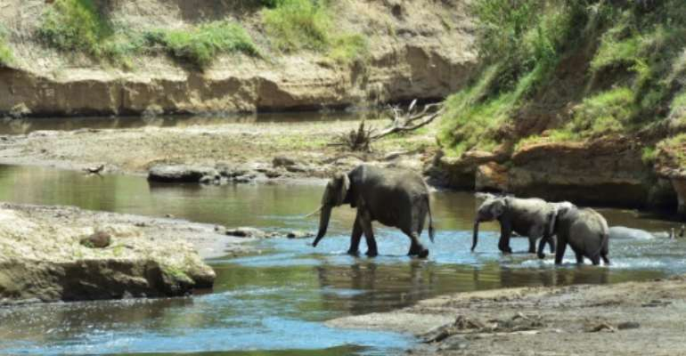 Continent-wide, Botswana has the most number of elephants, while populations in Kenya, Namibia, Rwanda, South Africa and Uganda are holding steady or climbing.  By SIMON MAINA (AFP/File)