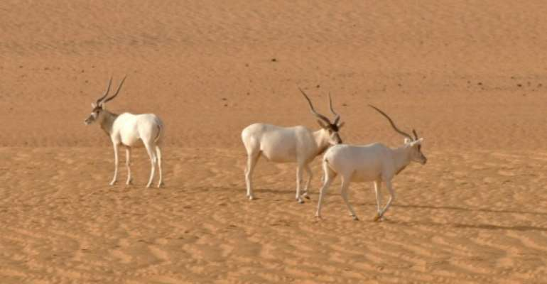 Critically endangered species such as the addax or white antilope could disappear if major changes are made to the Niger national nature reserve.  By Thomas Rabeil (AFP/File)