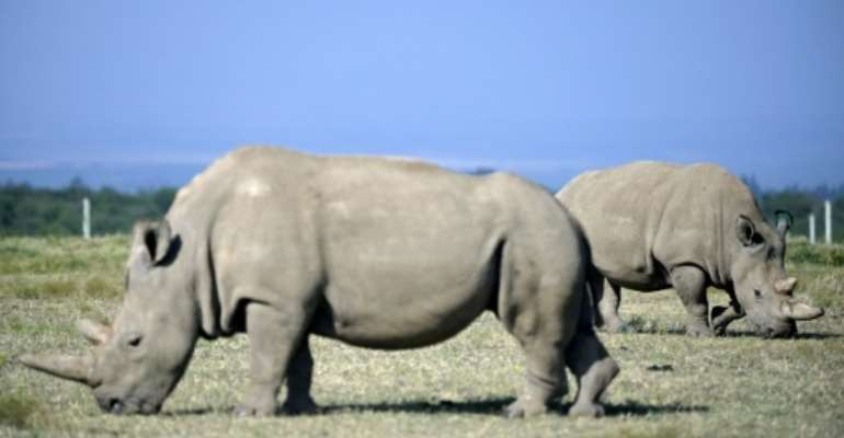 Fatu, right, and her mother Najin are the only two remaining northern white rhinos.  By TONY KARUMBA (AFP/File)