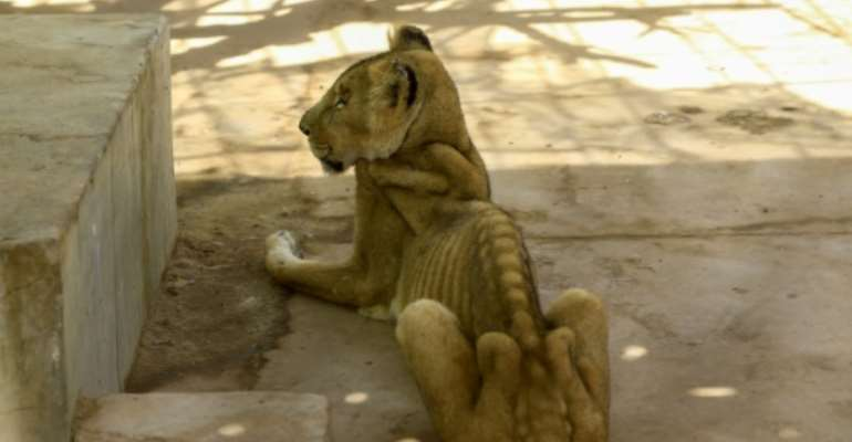 For weeks now, five lions held at Khartoum's Al-Qureshi Park in an upscale district of the capital have been suffering from shortages of food and medicine.  By ASHRAF SHAZLY (AFP)