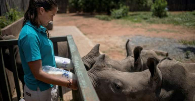 Four staff and two volunteers work around the clock to care for the rhino calves, sometimes even sleeping next to the youngest in an open faced barn.  By Michele Spatari (AFP)