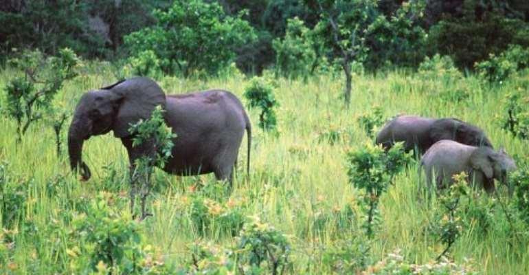 Elephants graze at Lope National Park in Gabon on November 28, 1999.  By  (AFP/File)
