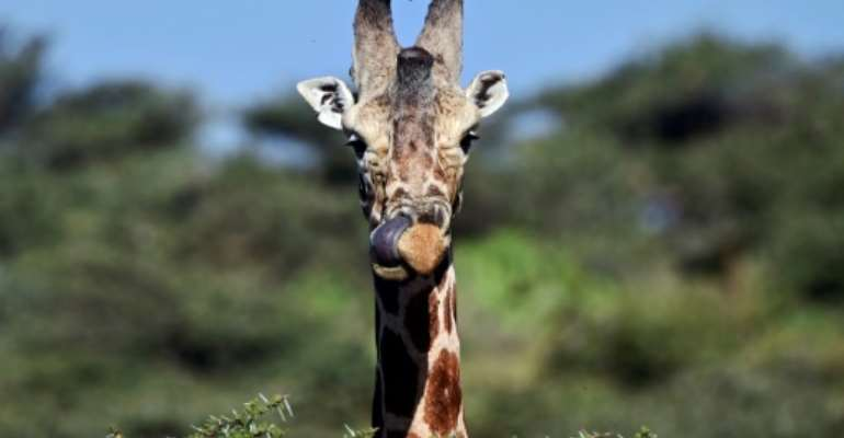 Giraffe numbers across the continent fell 40 percent between 1985 and 2015, to just under 100,000 animals.  By TONY KARUMBA (AFP)
