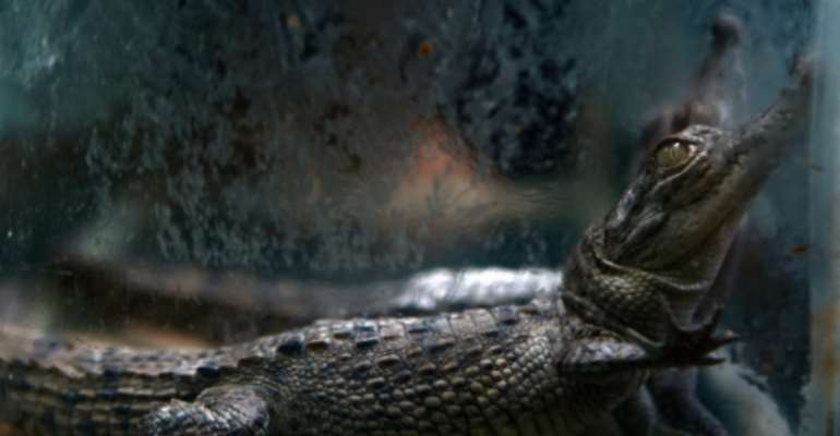 Globally police seized 4,419 live animals including 2,703 turtles and tortoises, 1059 snakes, 512 lizards and geckos and 20 crocodiles and alligators.  By Mayerling GARCIA (AFP/File)