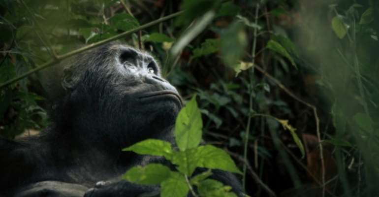 Gorilla haven: The Kahuzi-Biega National Park in eastern Democratic Republic of Congo.  By ALEXIS HUGUET (AFP)