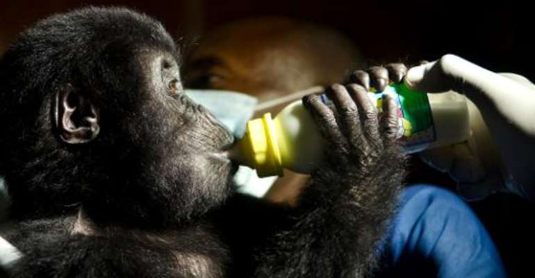 A photo taken on September 21, 2012 shows a baby Grauer's gorilla poached from Kahuzi-Biega National Park in DR Congo.  By Luanne Cadd (Virunga National Park/AFP)