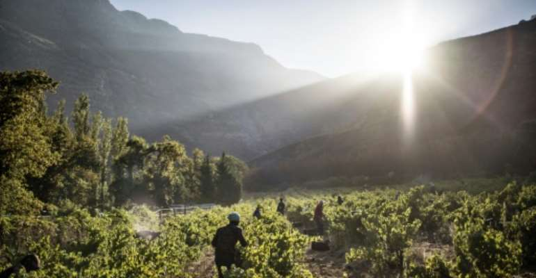 Grape harvest in the Hottentots Mountains.  By MARCO LONGARI (AFP/File)