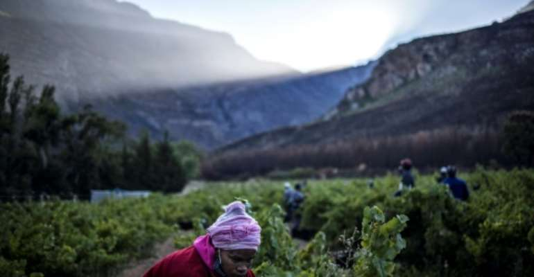 Harvest time: Seasonal workers snip the grapes at a vineyard overlooked by the Hottentots Mountains.  By MARCO LONGARI (AFP)
