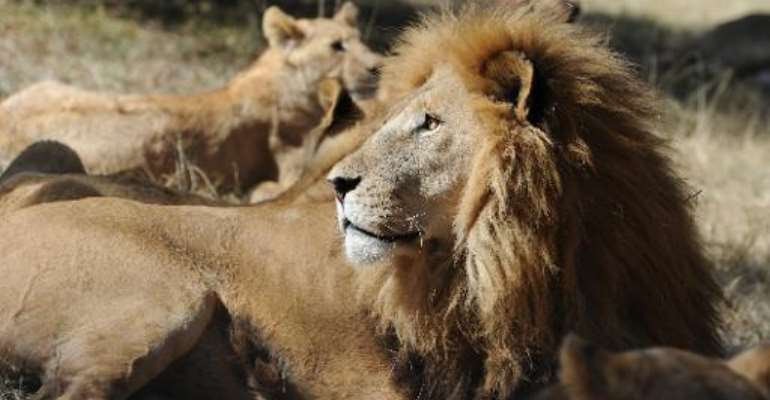 Game trackers in South Africa are searching for a lion that escaped from a wildlife park, officials said Tuesday, warning members of the public not to approach the animal.  By Markus Gilliar (Pool/AFP/File)