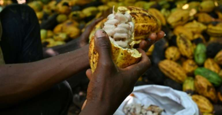 Ivory Coast is the biggest producer of cacao beans, the treasure that lies inside the pod of the Theobrama cacao tree.  By Issouf SANOGO (AFP)