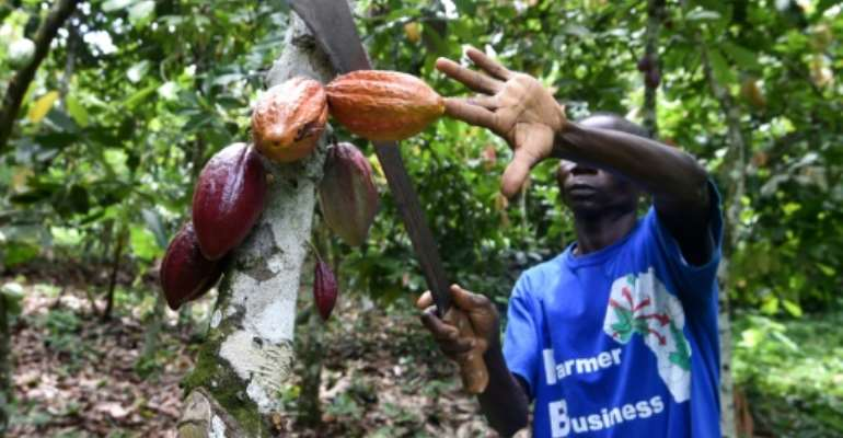 Ivory Coast is the world's biggest producer of cocoa beans, but poverty among farmers is widespread.  By SIA KAMBOU (AFP)