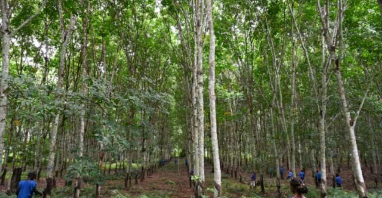 Ivory Coast's rubber plantations are being accused of damaging the environment and worsening food security.  By ISSOUF SANOGO (AFP/File)