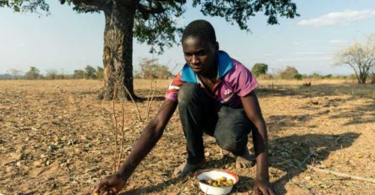 Leon Kufakunesu gathers jackalberry fruit onto a plate which his mother has resorted to serving the family as a midday meal.  By Jekesai NJIKIZANA (AFP/File)
