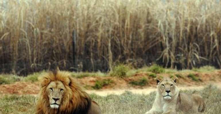 A lion and a lioness rest at Lion Park, near Pretoria, on June 29, 2010.  By Daniel Garcia (AFP/File)