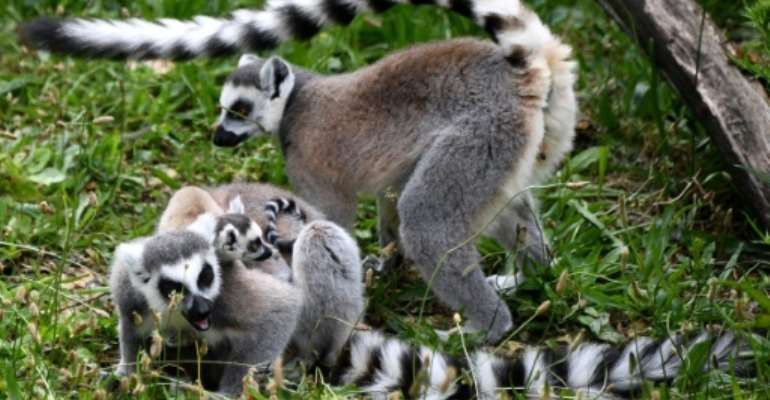 Many Madagascan species are under threat, like these ring-tailed lemurs in a Paris zoo.  By FRANCK FIFE (AFP)