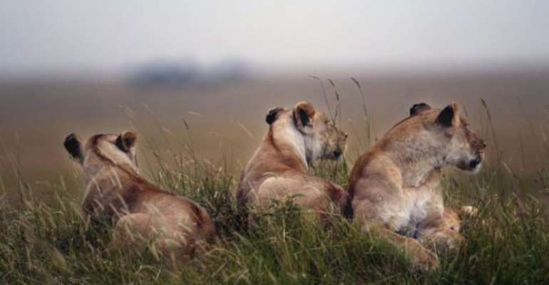 Lionesses rest in the bushes of the Masai-Mara Game reserve in Kenya.  By Marco Longari (AFP)