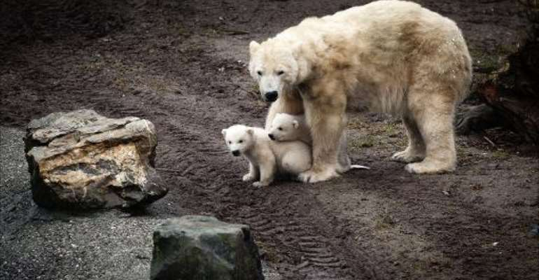Polar bear cubs with their mother Huggies in the Ouwehands Dierenpark zoo in Rhenen on February 29, 2012.  By Erik van 't Woud (ANP/AFP/File)