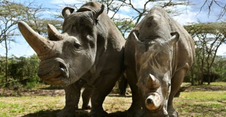 Najin and daughter Fatu are the only surviving northern white rhinos.  By TONY KARUMBA (AFP/File)