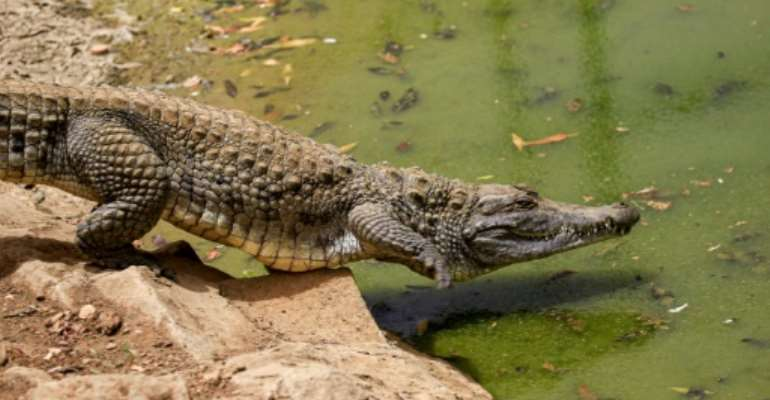 Nile crocodiles like the one seen here were among the animals that escaped.  By ASHRAF SHAZLY (AFP)