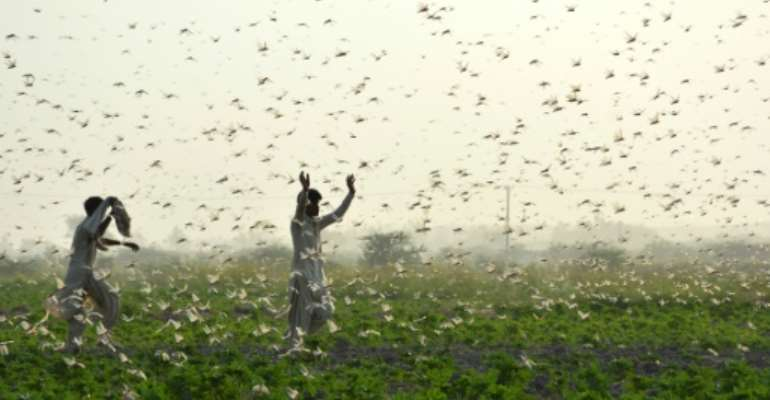 Record numbers of locusts have descended in devastating swarms across parts of Africa and Asia this year.  By Shahid ALI (AFP/File)