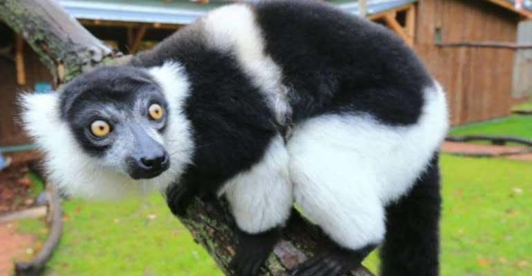 Ruffed lemurs could lose more than 90 percent of their habitat within 50 years as a result of global warming and habitat loss.  By JENS WOLF (DPA/AFP/File)
