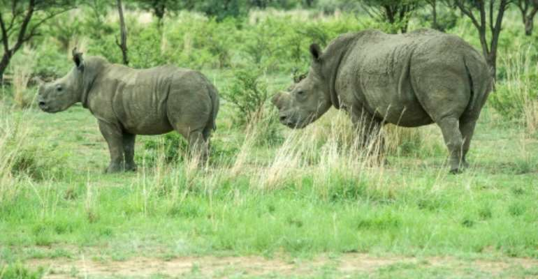 De-horned rhinos roam on the field at John Hume's Rhino Ranch in Klerksdorp, South Africa, on February 3, 2016.  By Mujahid Safodien (AFP/File)