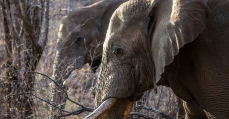 Some countries in southern Africa are pushing for a global ivory ban to be relaxed as their elephant numbers grow.  By GIANLUIGI GUERCIA (AFP/File)