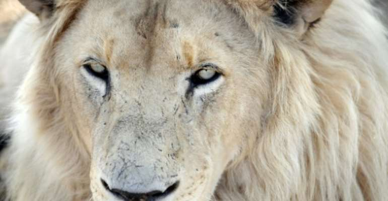 South Africa has as many as 8,000 lions in captivity being bred for hunting, the bone trade, tourism and academic research, according to estimates by wildlife groups.  By STEPHANE DE SAKUTIN (AFP)