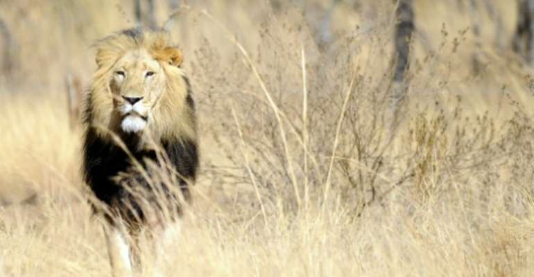 South Africa is home to more than 11,000 lions.  By STEPHANE DE SAKUTIN (AFP/File)