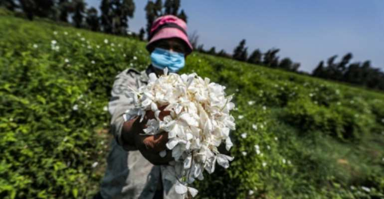 Sweet scented jasmine flowers farmed in Egypt's Nile Delta are pressed and the oil extracted for perfumes.  By Mohamed el-Shahed (AFP)
