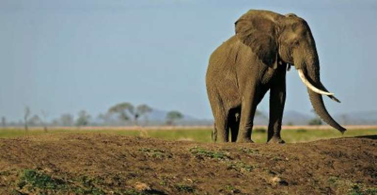Picture taken on October 14, 2013 shows an elephant in Mikumi National Park, which borders the Selous Game Reserve in southern Tanzania.  By Daniel Hayduk (AFP/File)