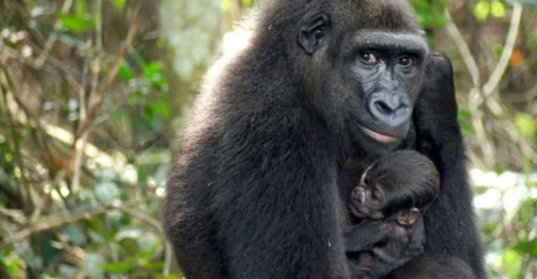 The 300,000-hectare (740,000-acre) Ivindo park is is home to many engangered animals such as gorillas.  By Handout (THE ASPINALL FOUNDATION/AFP)