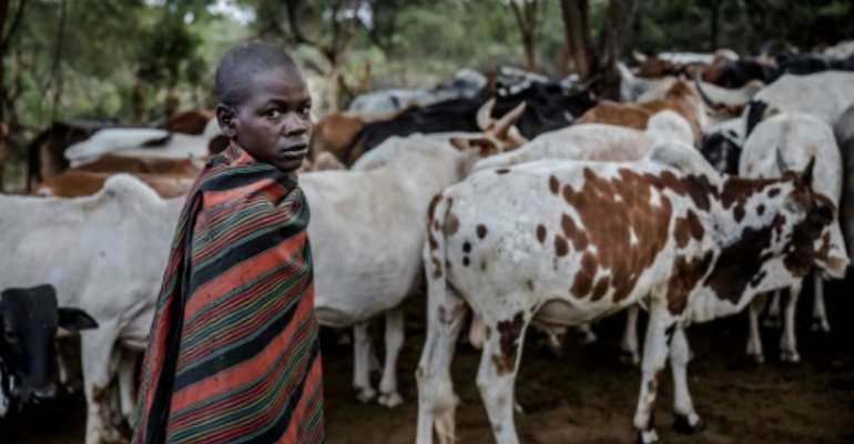 The ability of African cattle to withstand extreme weather and sickness will be put to the test in coming decades as climate change exacerbates the continent's extreme weather.  By Luis TATO (FAO/AFP/File)