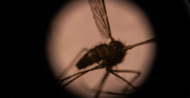 The Anopheles gambiae group of mosquito species are currently the main drivers of malaria's spread in Africa.  By Olympia DE MAISMONT (AFP/File)