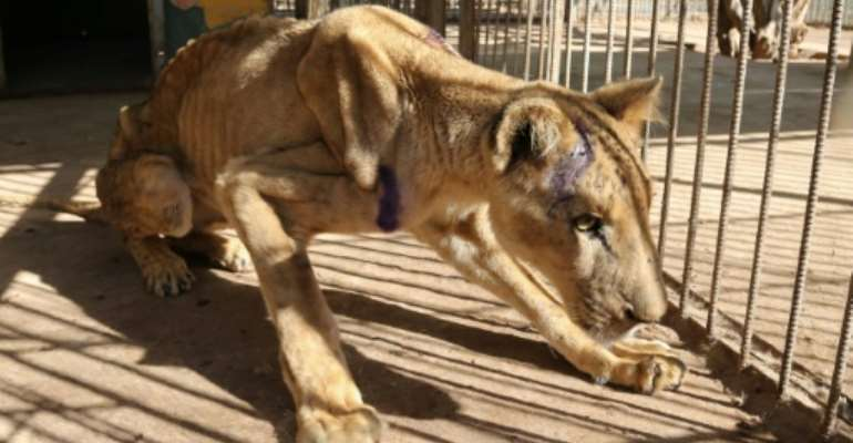 The captive lions in Khartoum's Al-Qureshi Park had lost as much as two-thirds of their body weight as a result of going unfed for weeks.  By ASHRAF SHAZLY (AFP)