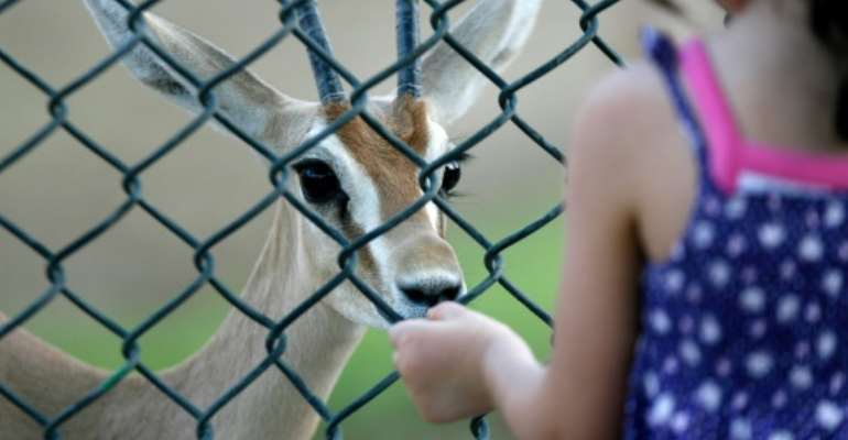 The dorcas gazelle, seen here at a zoo in Kuwait, is hunted for its meat in the Sahara.  By YASSER AL-ZAYYAT (AFP/File)