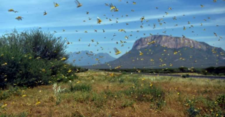 The massive swarms entered Kenya in December.  By TONY KARUMBA (AFP)