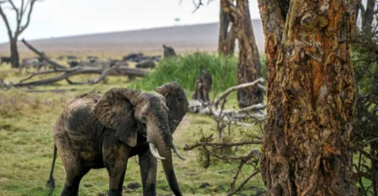 The numbers of African savanna elephants have plunged by at least 60 percent during the last half-century, according to the International Union for Conservation of Nature.  By Tony KARUMBA (AFP)