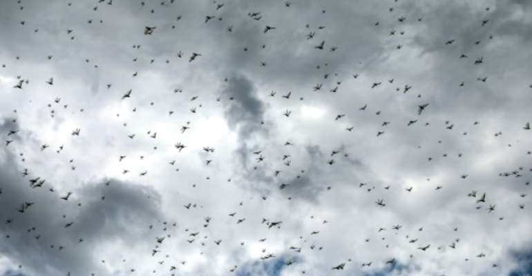The UN's Food and Agriculture Organization (FAO) says the Horn of Africa is facing its worst locust threat in a quarter of a century.  By Mohammed HUWAIS (AFP)