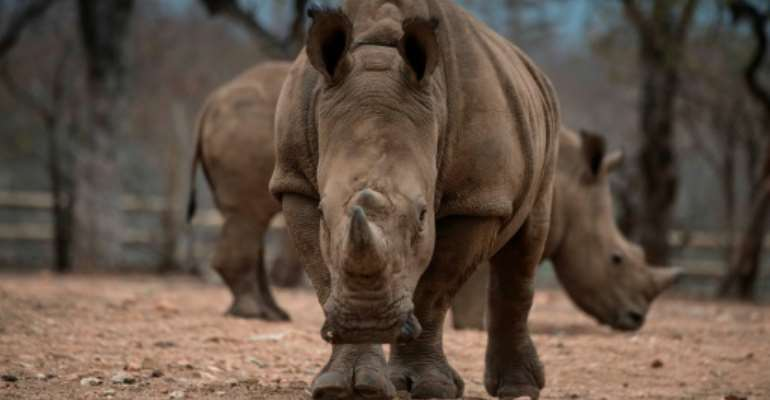 There are fewer than 25,000 rhinos left in the wild in Africa due to a surge in poaching.  By MUJAHID SAFODIEN (AFP/File)