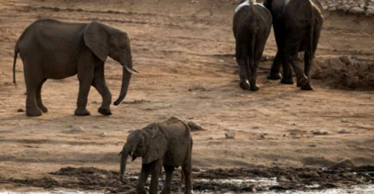 Threatened: Hundreds of elephants are to move home in the biggest wildlife transfer in Zimbabwe's history.  By MARTIN BUREAU (AFP/File)