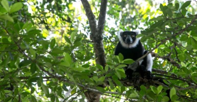 Threatened: Lemurs in Madagascar's Vohibola forest are in danger of being wiped out by poaching and logging.  By RIJASOLO (AFP)