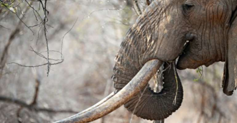 Trophy hunters have been issued licences to kill nearly 300 elephants.  By ROBERTO SCHMIDT (AFP)