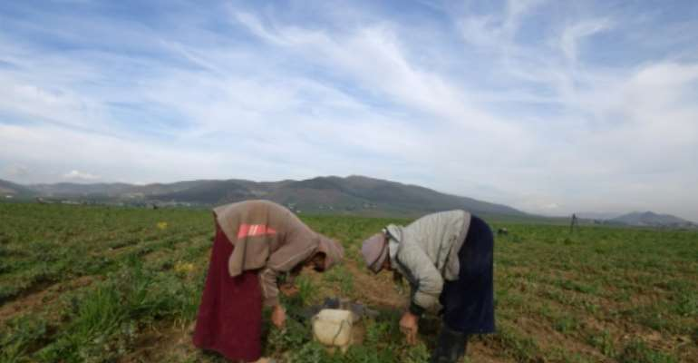 Tunisia's agricultural sector relies heavily on low-paid day labourers, many of them women, who work in often arduous conditions.  By FETHI BELAID (AFP/File)