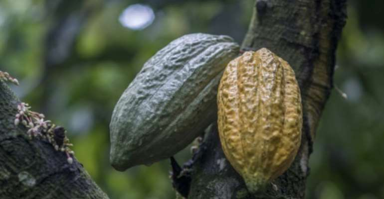 Two cocoa pods, which can each hold some 30 to 40 cocoa beans that are used to make chocolate.  By CRISTINA ALDEHUELA (AFP/File)