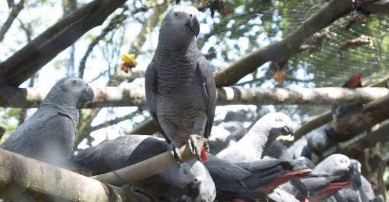 Who's a pretty boy then? African grey parrots in a Uganda Wildlife Authority center today.  By MICHELE SIBILONI (AFP)