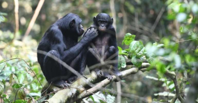 Urban expansion and hunting have pushed chimpanzees, humanity's closest relative in the animal kingdom, into shrinking islets of wildness.  By Martin Surbeck (Max Planck Institute for Evolutionary Anthropology/AFP/File)